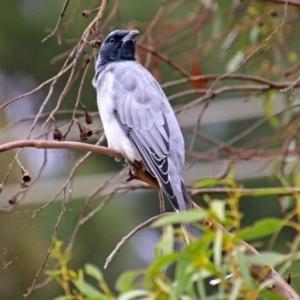 Coracina novaehollandiae at Jerrabomberra Wetlands - 15 Mar 2019