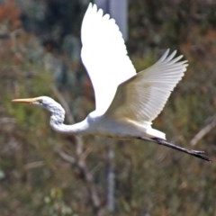 Ardea alba (Great Egret) at Jerrabomberra Wetlands - 15 Mar 2019 by RodDeb