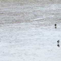 Erythrogonys cinctus at Jerrabomberra Wetlands - 15 Mar 2019