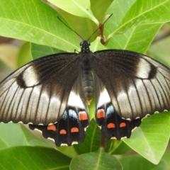 Papilio aegeus at Berry, NSW - 11 Mar 2019