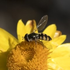 Melangyna viridiceps (Hover fly) at ANBG - 15 Mar 2019 by AlisonMilton