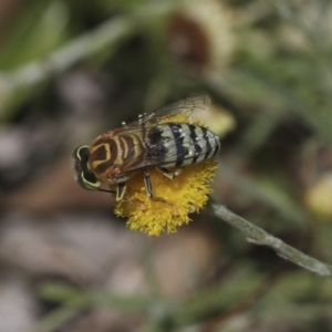 Bembix sp. (genus) at ANBG - 16 Mar 2019