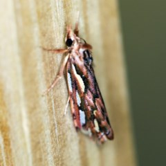 Meyrickella torquesauria (An Eribid Moth) at O'Connor, ACT - 8 Mar 2019 by ibaird
