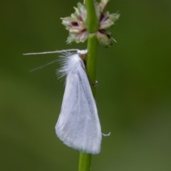 Tipanaea patulella (Grass Moth) at ANBG - 16 Mar 2019 by rawshorty