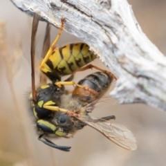 Vespula germanica (European wasp) at Brindabella National Park - 15 Mar 2019 by rawshorty