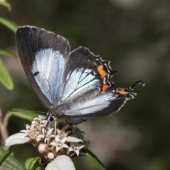 Jalmenus evagoras (Imperial Hairstreak) at ANBG - 15 Mar 2019 by AlisonMilton