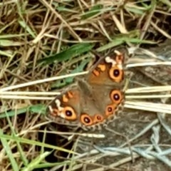 Junonia villida (Meadow Argus) at Mount Mugga Mugga - 16 Mar 2019 by Mike