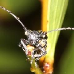 Ancita crocogaster (Longhorn beetle) at Broulee, NSW - 16 Mar 2019 by jbromilow50