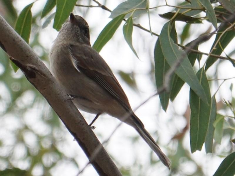 Pachycephala pectoralis at Red Hill Nature Reserve - 17 Mar 2019