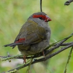Neochmia temporalis (Red-browed Finch) at Red Hill Nature Reserve - 17 Mar 2019 by JackyF