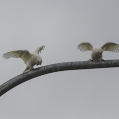Cacatua sanguinea at Queanbeyan, NSW - 13 Mar 2019