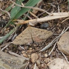 Scopula rubraria (Reddish Wave) at Red Hill Nature Reserve - 17 Mar 2019 by JackyF
