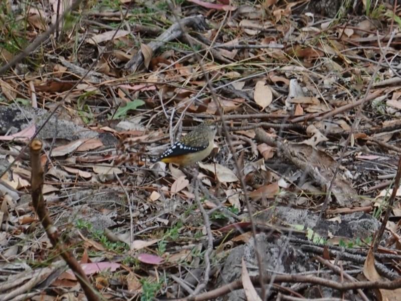 Pardalotus punctatus at Red Hill Nature Reserve - 17 Mar 2019