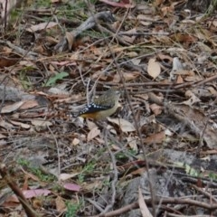 Pardalotus punctatus (Spotted Pardalote) at Red Hill Nature Reserve - 17 Mar 2019 by JackyF
