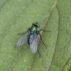 Austrosciapus sp. (genus) (Long-legged fly) at Queanbeyan East, NSW - 12 Mar 2019 by AlisonMilton