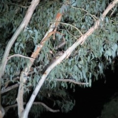 Petaurus breviceps (Sugar Glider) at Namadgi National Park - 9 Mar 2019 by Cricket