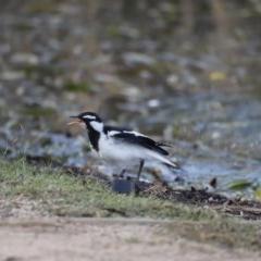 Grallina cyanoleuca (Magpie-lark) at Lake Ginninderra - 16 Feb 2019 by Cricket