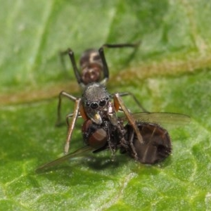 Myrmarachne sp. (genus) at ANBG - 14 Mar 2019