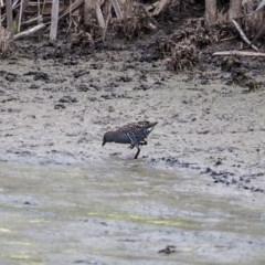 Porzana fluminea (Australian Spotted Crake) at Jerrabomberra Wetlands - 16 Mar 2019 by Daniel12345