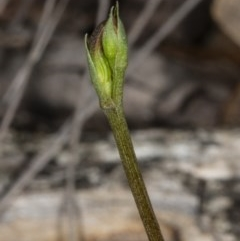 Speculantha rubescens (Blushing tiny greenhood) at Gungaderra Grasslands - 17 Mar 2019 by DerekC