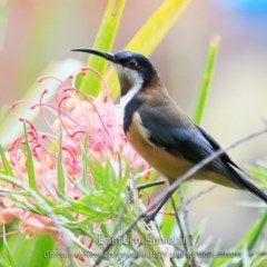 Acanthorhynchus tenuirostris (Eastern Spinebill) at Garrad Reserve Walking Track - 14 Mar 2019 by Charles Dove