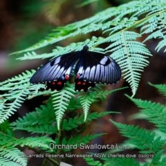 Papilio aegeus (Orchard Swallowtail, Large Citrus Butterfly) at Garrad Reserve Walking Track - 14 Mar 2019 by Charles Dove