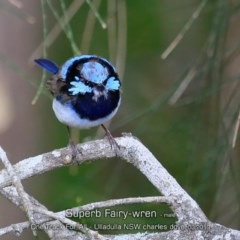 Malurus cyaneus (Superb Fairy-wren) at One Track For All - 13 Mar 2019 by CharlesDove