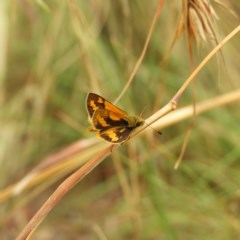 Ocybadistes walkeri (Greenish Grass-dart) at Kambah, ACT - 16 Mar 2019 by MatthewFrawley