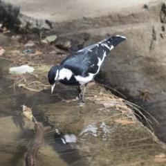 Grallina cyanoleuca (Magpie-lark) at Lake Ginninderra - 12 Mar 2019 by Alison Milton
