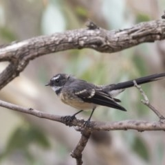 Rhipidura albiscapa (Grey Fantail) at Mount Rogers - 12 Mar 2019 by Alison Milton