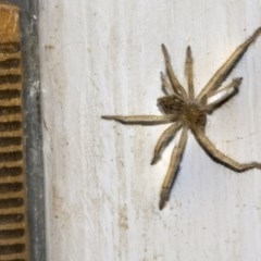 Sparassidae sp. (family) (A Huntsman Spider) at Higgins, ACT - 5 Mar 2019 by AlisonMilton