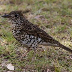 Zoothera lunulata (Bassian Thrush) at Murramarang National Park - 10 Mar 2019 by DerekC