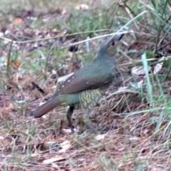 Ptilonorhynchus violaceus (Satin Bowerbird) at Rosedale, NSW - 16 Mar 2019 by jbromilow50