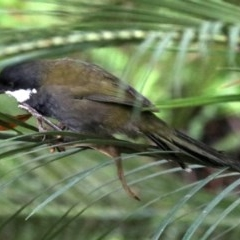 Psophodes olivaceus (Eastern Whipbird) at Rosedale, NSW - 16 Mar 2019 by jbromilow50