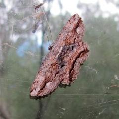 Scioglyptis lyciaria (White-patch Bark Moth) at ANBG - 19 Mar 2019 by Heino1