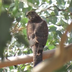 Accipiter cirrocephalus (Collared Sparrowhawk) at Gigerline Nature Reserve - 19 Mar 2019 by KumikoCallaway