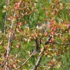 Ptilotula fusca at Gigerline Nature Reserve - 19 Mar 2019