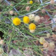 Calotis lappulacea (Yellow burr daisy) at Mount Mugga Mugga - 19 Mar 2019 by Mike