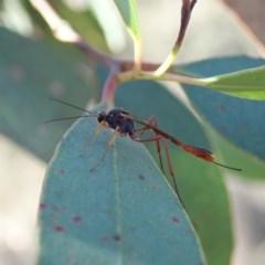 Heteropelma scaposum (Two-toned caterpillar parasite wasp) at Aranda Bushland - 18 Mar 2019 by CathB