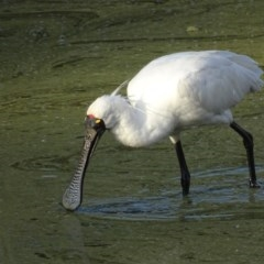 Platalea regia (Royal Spoonbill) at Jerrabomberra Wetlands - 28 Feb 2019 by roymcd