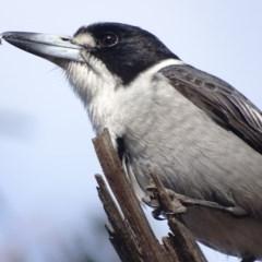 Cracticus torquatus (Grey Butcherbird) at Hughes Garran Woodland - 20 Sep 2018 by roymcd