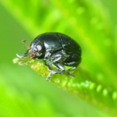 Ditropidus sp. (genus) (Leaf beetle) at Stromlo, ACT - 12 Mar 2019 by Harrisi