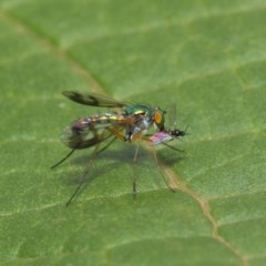 Dolichopodidae sp. (family) (Unidentified Long-legged fly) at ANBG - 18 Mar 2019 by TimL
