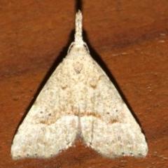 Trigonistis asthenopa (An Erebid moth (Hypenonidae)) at Rosedale, NSW - 16 Mar 2019 by jbromilow50
