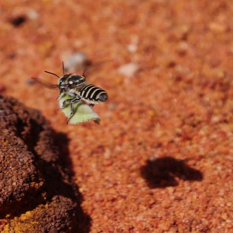Megachile (Eutricharaea) serricauda at ANBG - 20 Mar 2019