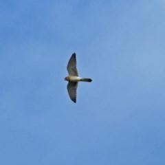 Falco cenchroides (Nankeen Kestrel) at Molonglo Valley, ACT - 19 Mar 2019 by RodDeb