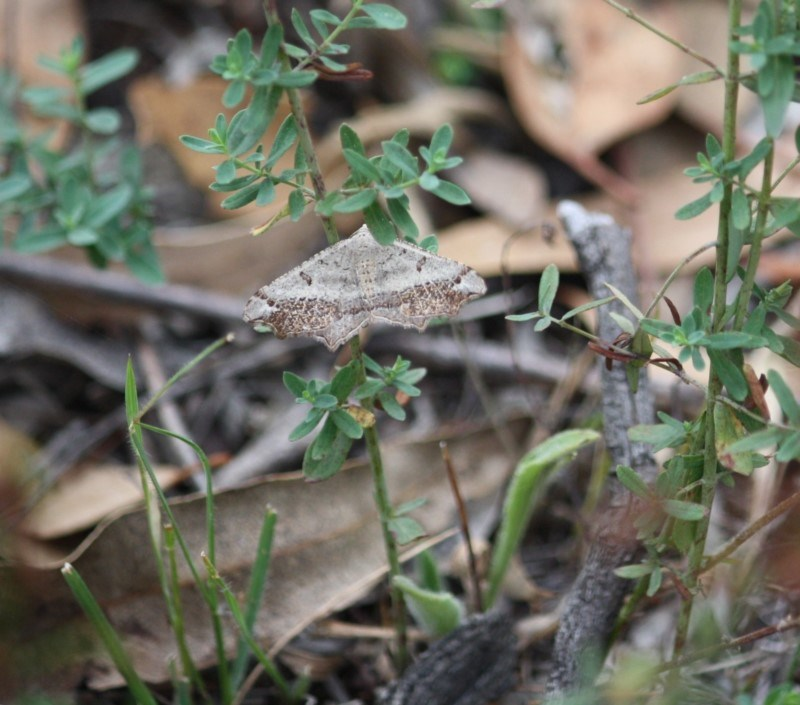 Dissomorphia australiaria at Red Hill Nature Reserve - 20 Mar 2019