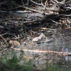 Rhipidura fuliginosa (Grey Fantail) at Mongarlowe, NSW - 18 Mar 2019 by LisaH