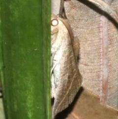 Calyptra minuticornis (Vampire Moth) at Guerilla Bay, NSW - 15 Mar 2019 by jbromilow50