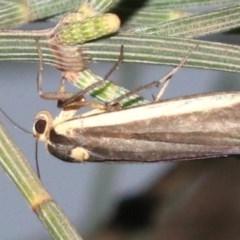 Manulea replana (Lichen-eating Caterpillar) at Guerilla Bay, NSW - 16 Mar 2019 by jbromilow50